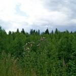 Зеленово-колючковый пейзаж в Девяткино