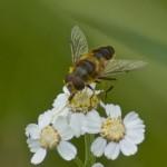 Хоботок у пчелки