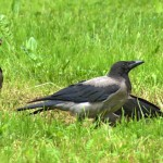 Сорока-ворона кашу варила... деток кормила!