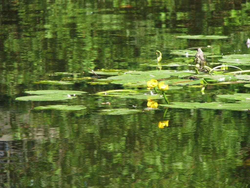 кувшинки в пруду