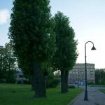 Деревья-сморчки