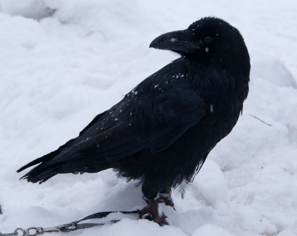 скачать торрент черный ворон - фото 7