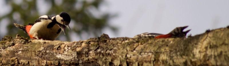 Самка дятла выясняет отношения