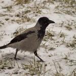 Ворона зимой