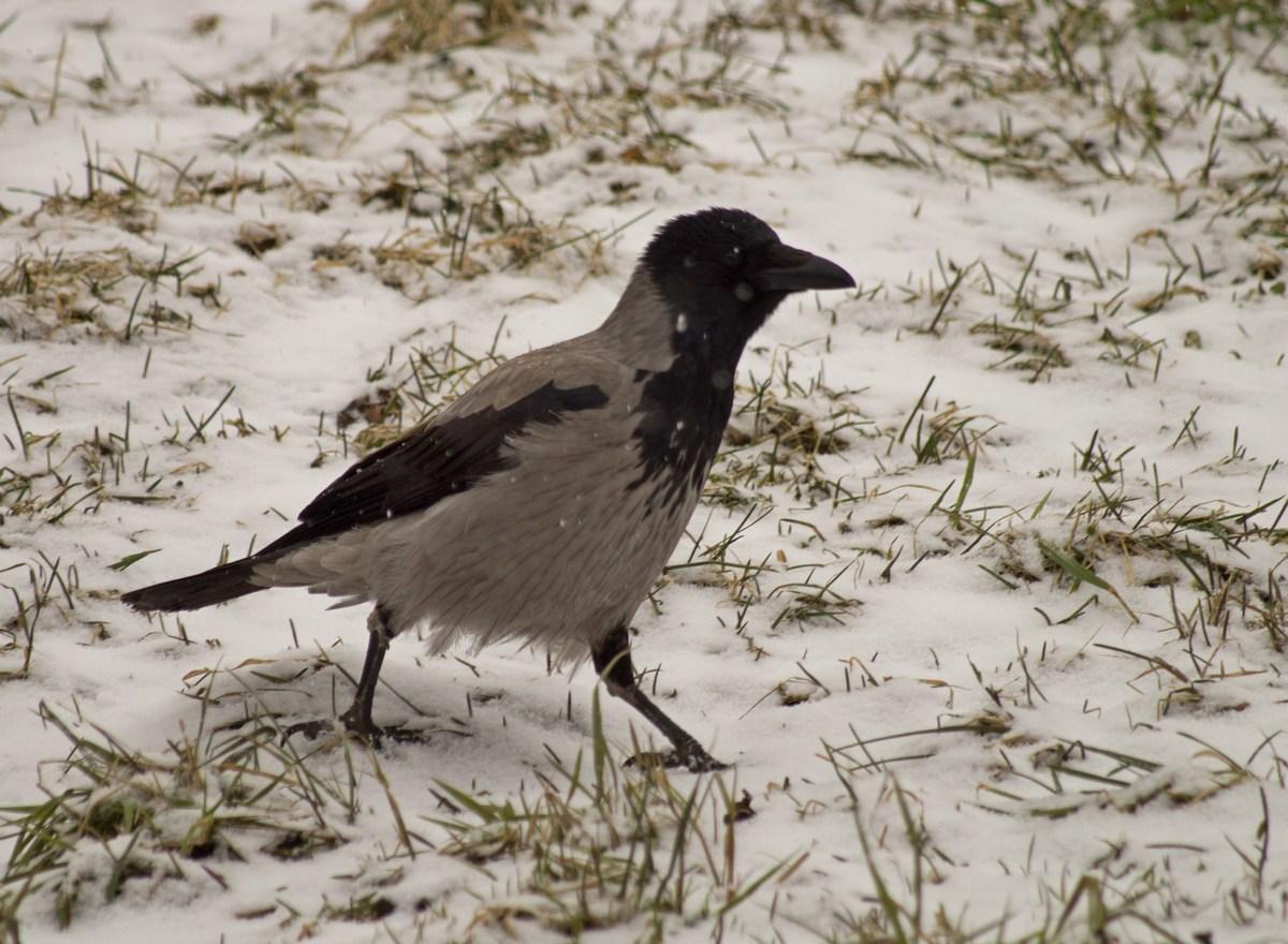 Зимние птицы ворона фото 6