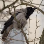 Ворона на ветке