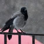 Ворона в метель