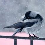 Ворона чистит перышки