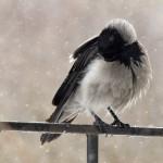 Ворона. Поиск серебряной грудки