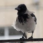 Фото ворона зимой