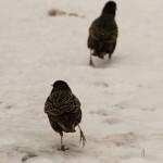 Скворцы как конькобежцы скользят по снегу