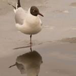 Балетная чайка