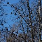 Часовые, как всегда, на посту.... Голуби в Удельном парке.