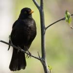 Черный дрозд самец