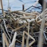 Яйца и гнезда лысухи
