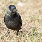 Галка фото птица