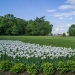 Белые бахромчатые тюльпаны - украшение парка на Елагином острове.