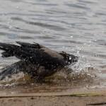 Ворона моется
