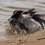 Заплыв вороны