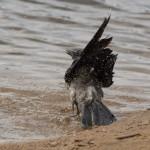 Ворона: Подготовка к прыжку в воду