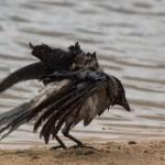 Ворона купается фото