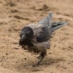 Муравьи на крыле вороны