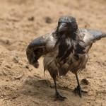 Храбрость вороны