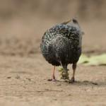 Скворец: Поиск корма для птенцов