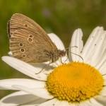 Серая бабочка на цветке