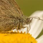 Серая бабочка портрет