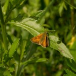 Толстоголовка лесная: на листе