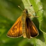 Толстоголовка лесная: 4 крыла