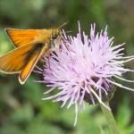 Толстоголовка лесная: на глобусе цветка