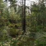 В Кирилловском: утро в лесу