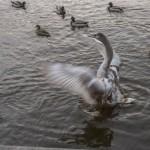 Серый лебедь: