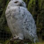 Снежная сова в зоопарке Чехии