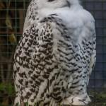 Полярная сова в зоопарке Чехии