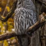 Бородатая неясыть вид сбоку в зоопарке Чехии
