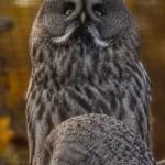 Бородатая неясыть в зоопарке Чехии