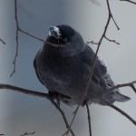 Зимние птицы: Снежный клюв у Галки