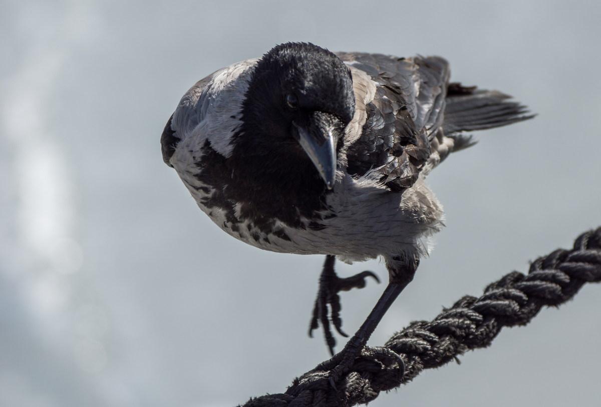 Сонник ворона нападала