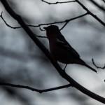 Зяблик: песня на ветке