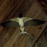 Ласточка деревенская летит к птенцам