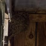Ласточка деревенская гнездо