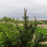 На берегу Финского залива. Лахта-Ольгино. Молодые сосенки.