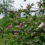 На берегу Финского залива. Яблони зацветают.
