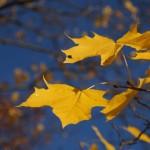 Кленовые листья в небесной луже.