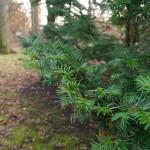 В парке Ботанического сада. Сосновые - это всегда красиво. Зеленый цвет- цвет надежды.