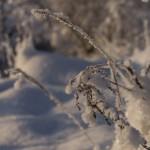 Трава под морозом.