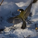 Синичка зимой: на взлете